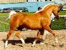 Shulay Faberge - a perfect palomino stallion