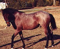 Taos SMR 2222 is a bay roan Cerbat stallion.