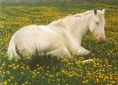 Cremello Mare Kitty is Foundation Bred and 100% QH