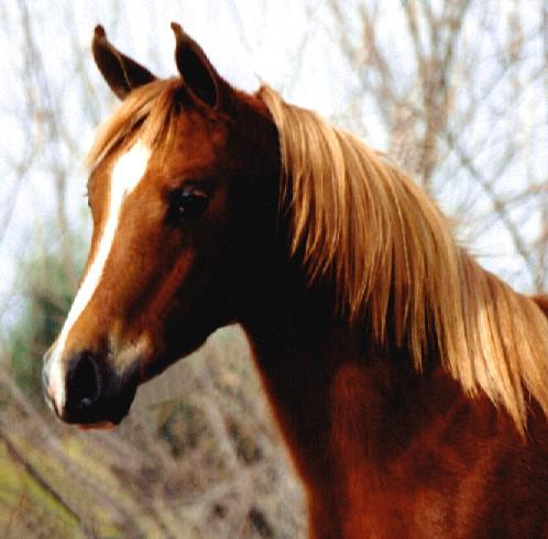 chestnut horses
