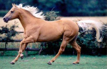 Sedgehill Gold - Kitty's dad of Cotesbach Quarter Horses, UK