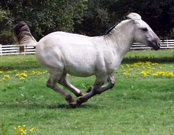 Gra Fjord stallion Brok