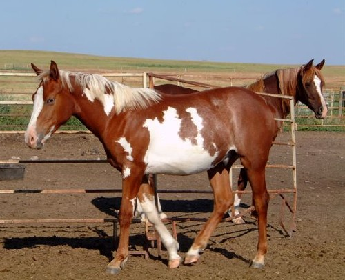 Coy, chestnut overo son of SS Hympressive Coy