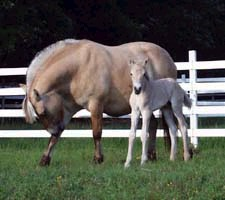 Brunblakk Fjord mare Dina and her filly Nova