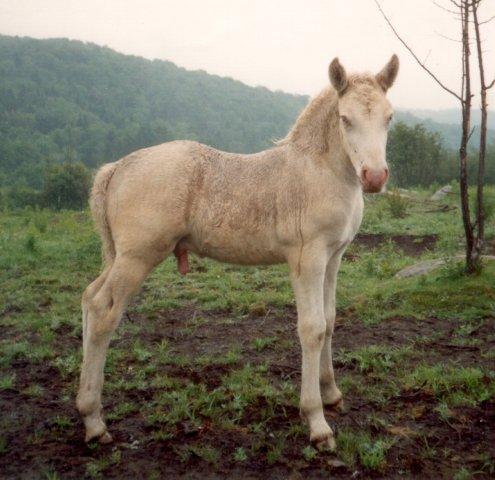 FG Luna is kvit - the rarest color of Norwegian Fjord horses.