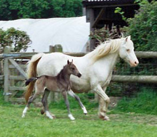 Forlan Welsh Cream and foal Floreat Bourbon Cream