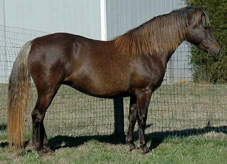 Rare silver dapple Morgan mare Foxton Frosty Dawn