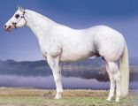 Dominant White Quarter Horse Stallion GQ Santana