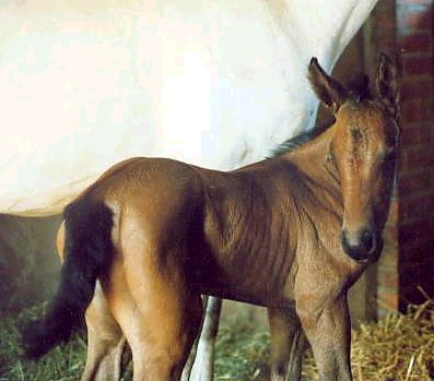 Olga as a foal - she turned gray later