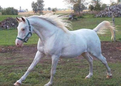 2019 year for lady- Thoroughbred White breed pictures