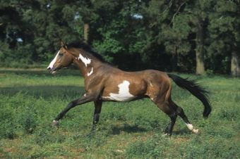 Nite Spot is a rare bay frame overo 16.1 hh Thoroughbred stallion.