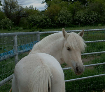 Oh Yenna Is A Rare Yellow Dun Fjord Mare