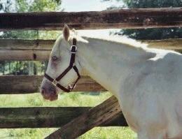 Gold cream AQH stallion Peppy Bar Cougarand