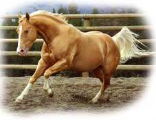gold champagne quarter horse