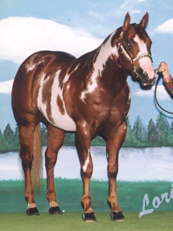 chestnut overo stallion ss hympressive coy