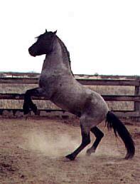 Silver Hawk - grullo roan Cerbat stallion
