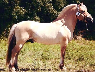Skyview Henry Uls dun Norwegian Fjord Horse stallion