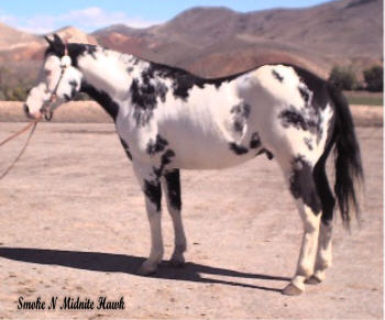 APHA Black Overo Stallion Smoke N Midnite Hawk