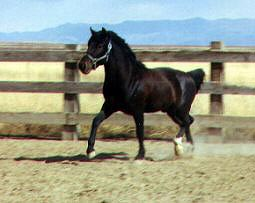 Teotihuacan is a seal brown Cerbat Mustang stallion