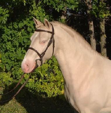 smoky black Welsh stallion The Key