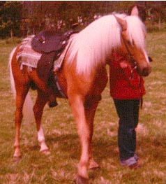 Gold palomino with white mane and tail.
