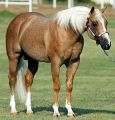 Yellow Roan Of Texas is Palomino Roan