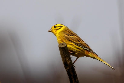 and yellowhammers on the property