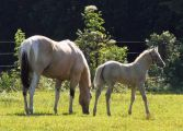 Tobiano buckskin mare Zip Idie Dodah and her cremello foal Beaux