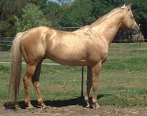 Tintaras Callisto - Australian Stock Horse stallion