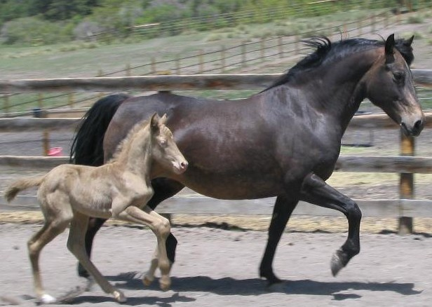 Pantera with her foal Stone Pine Pearl
