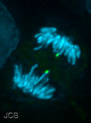 A specific gene is highlighted on anaphase horse chromosomes.