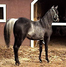 Aswad Shahwan BWA is a rare black Arabian stallion, with extreme rabicano and minimal sabino markings.
