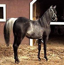 Aswad Shahwan BWA is a rare black Arabian stallion, with extreme rabicano and minimal sabino markings.