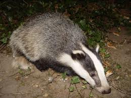 Badgers come out at night