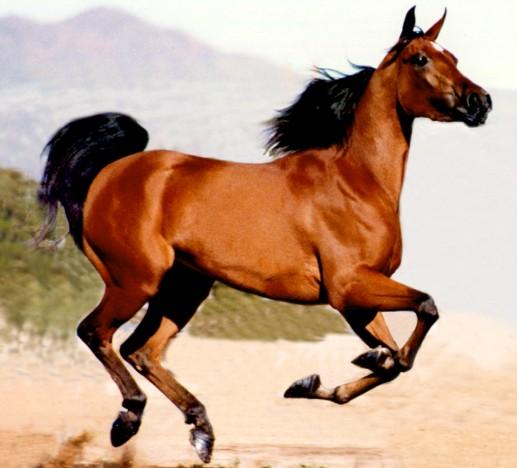 standard bay horse