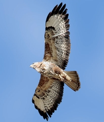 big and beautiful - the buzzard is a common bird here