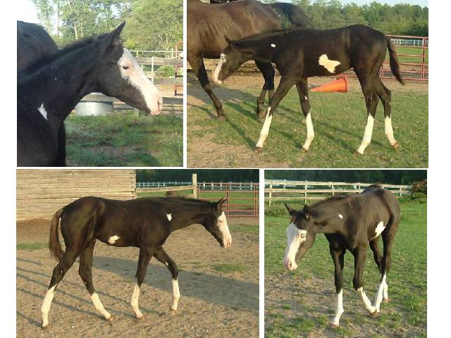 Ever Able, a black splash & frame colt.