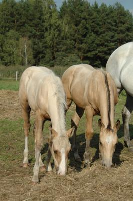 Double R American Quarter Horse  Ranch Mares and Foals