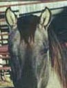 ear rims of dun quarter horse