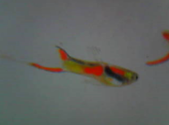Typical Endler male (dad of fish for sale)