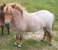 miniature red roan