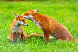 I've seen foxes on the property