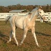 classic champagne dun stallion