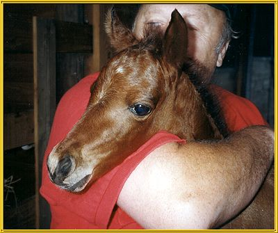 Caspian foal at Kristull Ranch, Texas