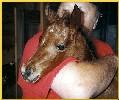 bay Caspian foal