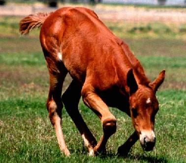standard chestnut foal
