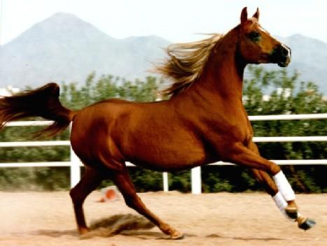 standard chestnut horse