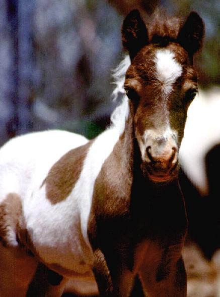 tobiano foal