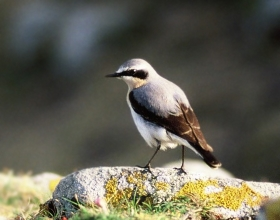there are wheatears on the common...