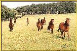 bay Caspian horses